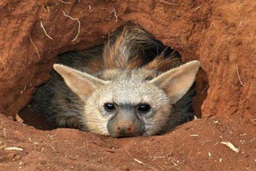 фото земляного волка