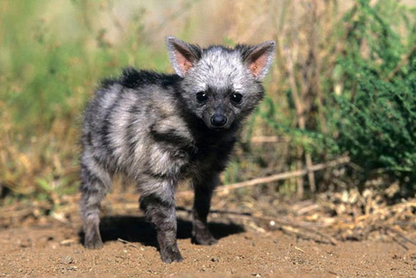 детёныш земляного волка фото