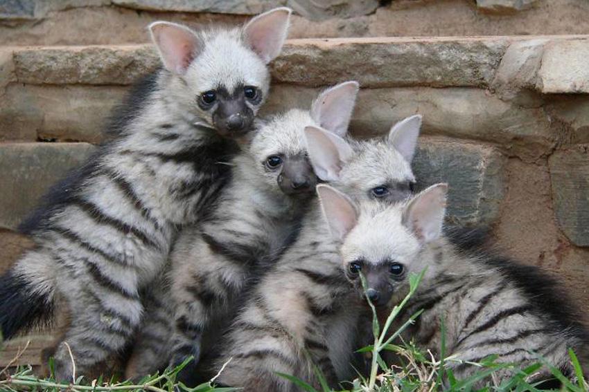 фото земляные волки